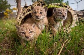 Iberian lynx cubs.